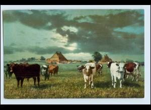 W6Q36/ Kühe - Dorf Achterwehr bei Kiel - Auf heimatlicher Erde AK ca.1912