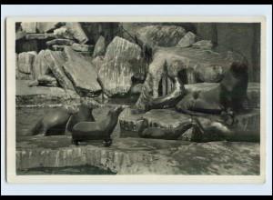 W7L16/ Hamburg Stellingen Hagenbeck Zoo Foto AK Walrosse Seelöwen ca.1930