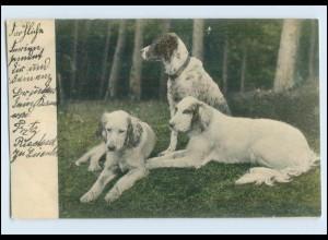 A6590/ Hunde Setter 1904 AK