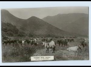 H216/ Cattle in Zululand near Natal Südafrika Foto AK ca.1912