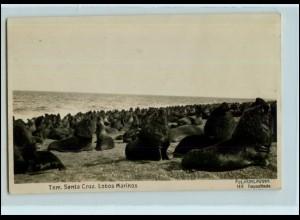 Y4761/ Santa Cruz Ecuador Lobos Marinos Seelöwe Robben Foto AK ca.1935