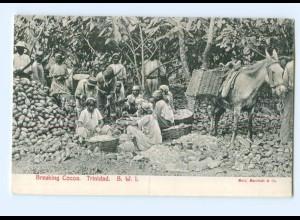 T5301/ Trinidad Karibik AK Breaking Cocoa AK ca.1910