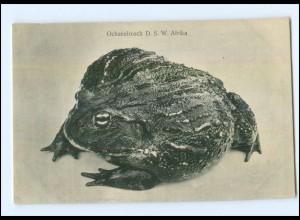 XX001350/ Ochsenfrosch Deutsch-Südwest-Afrika Kolonien Ak ca.1910
