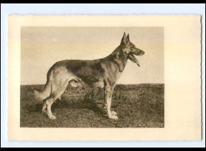 Y9957/ Hund Schäferhund AK ca.1930
