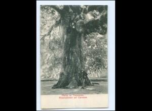 U5309/ Platan na Trstenomu Trsteno bei Dubrovnik Bäume AK Kroatien 1910