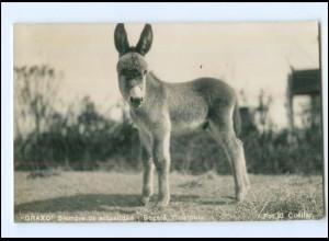 """Y11713/ Bogota Kolumbien Esel """"Graxo"""" Siempre de actualidad Foto AK 1937"""