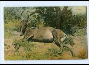Y13712/ Hartebest Deutsch-Südwest-Afrika AK ca.1910