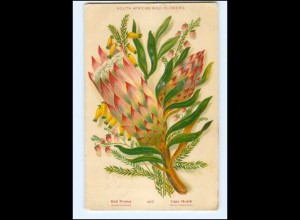Y13705/ Südafrika South African wild Flowers Red Protea Litho AK 1908
