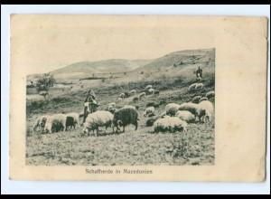 Y13957/ Schafherde in Mazedonien AK 1917