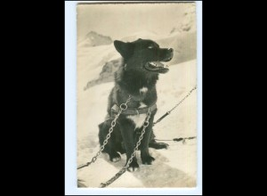 Y17656/ Polarhund Jungfraujoch AK ca.1955