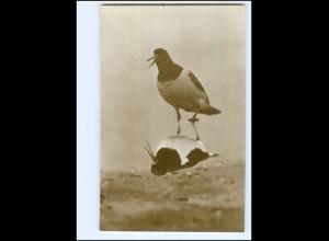 Y19175/ Schreiender Austernfischer Vogel Foto AK Verlag: Verein Jordsand ca.1925