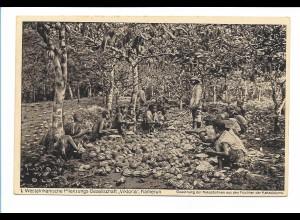 Y17387/ Westafrikanische Pflanzungs. Ges. Viktoria - Kamerun Kakaoernte AK