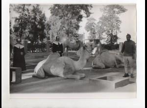F6033/ Ägypten Schwestern des Ordens des hl. Karl Boromäus Foto ca.1955 Kamele