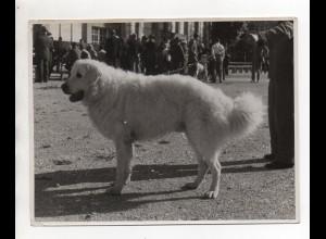 F6615/ Hirtenhund Foto ca.1950 19,5 x 15 cm